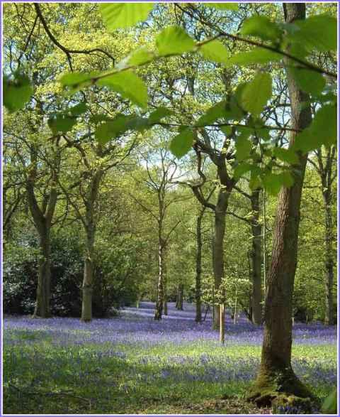 bluebells-newdigate-surrey-chris-denchfield.jpg