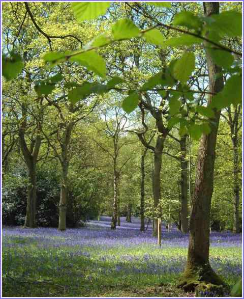 bluebells-newdigate-surrey-chris-denchfield.jpg