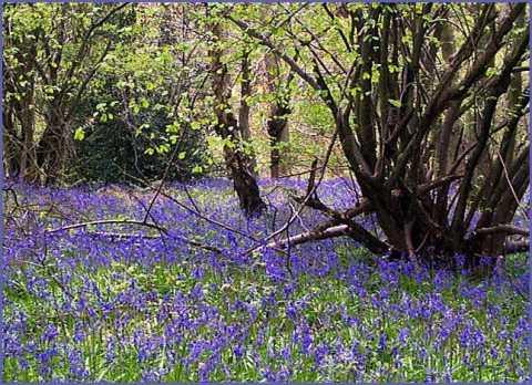 bluebells-spring.jpg
