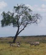 zebra-and-acacia-tree-masai-mara-kenya-by-roadsofstone