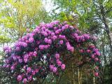 rhododendron at ardoe house aberdeen scotland by roadsofstone